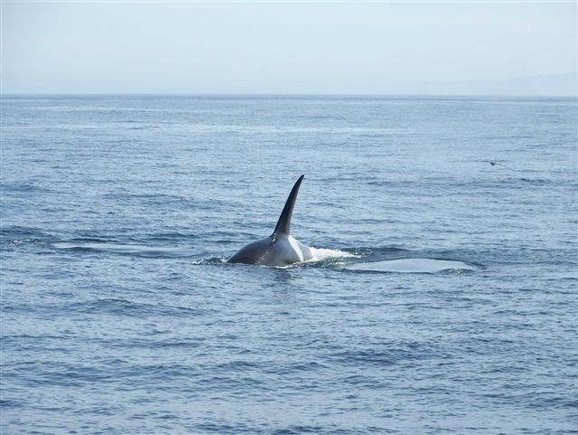 Orca seen during buoy recovery