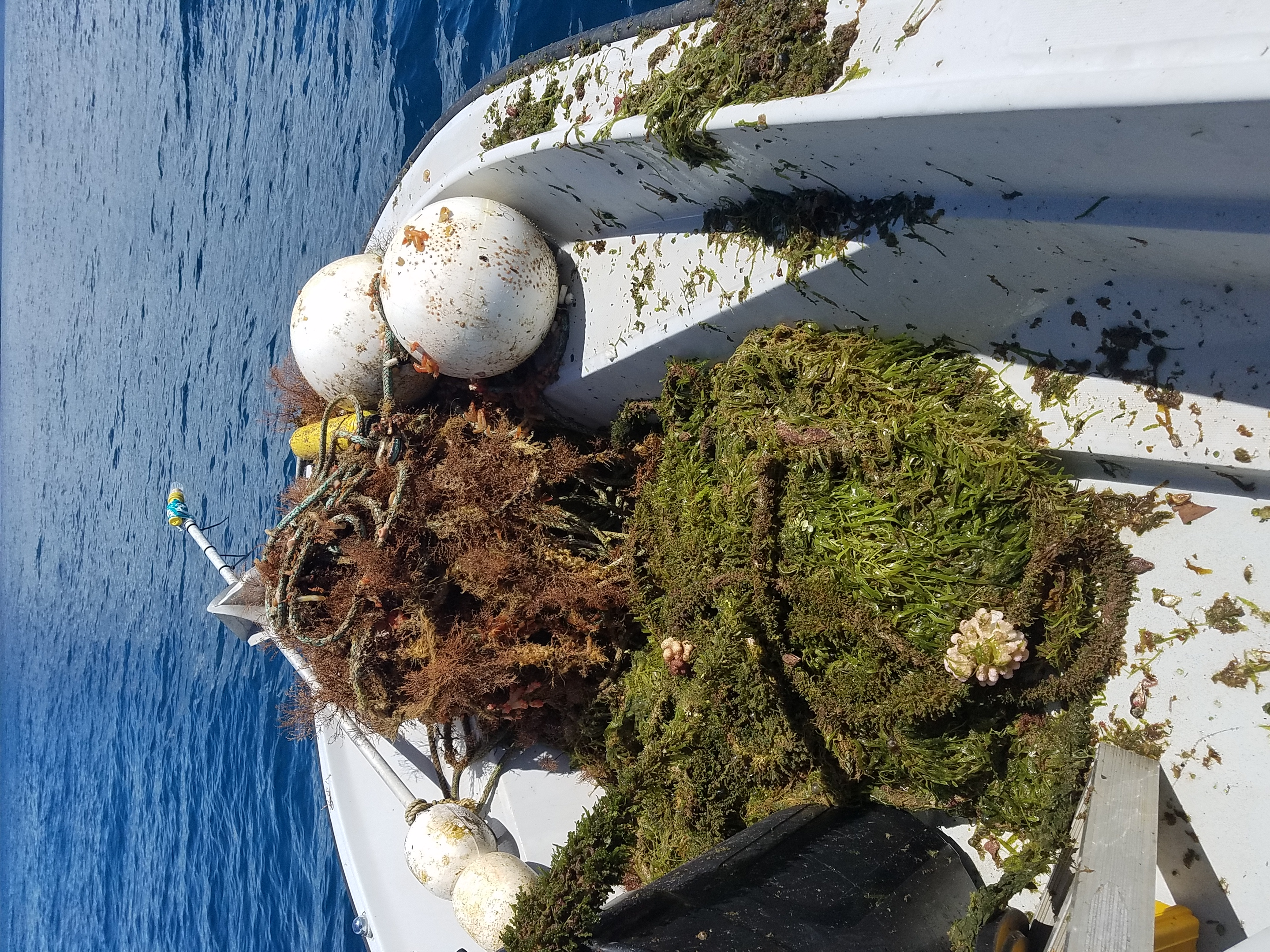 Plenty of growth on buoy mooring